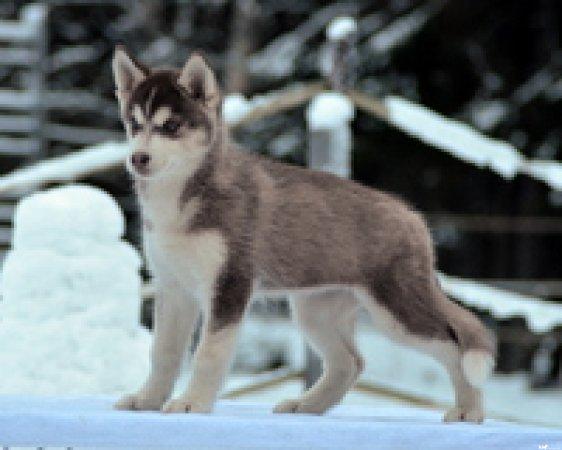 Siperian Husky
